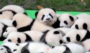 赤ちゃんパンダたくさん