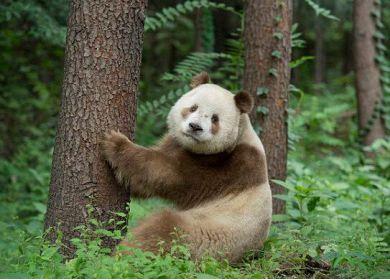 茶色いパンダ2