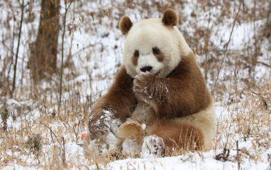 茶色いパンダ