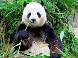 笹の葉を食べるパンダ