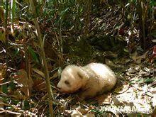 茶色いパンダの赤ちゃん