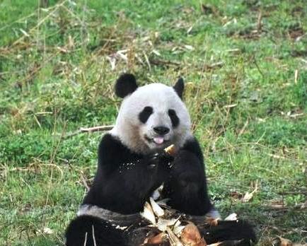 茶色いパンダの恋人